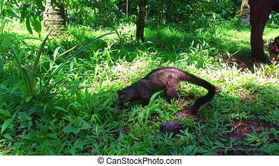 Civet cat on Java in Indonesia