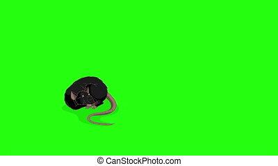 clã©, animation, rat, endormi, noir, chroma, réveille, haut,...