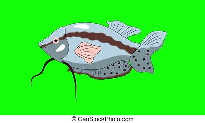 clã©, fait boucle, fish, gris, chroma, gourami, aquarium, grand