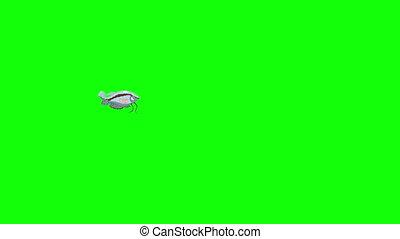 clã©, fish, gris, chroma, gourami, aquarium, petit