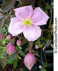 clématite, rose