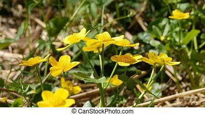 clair, fleurs, jaune, caltha