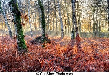 clair, forêt, levers de soleil, fougère