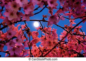 clair lune, fleurs cerise