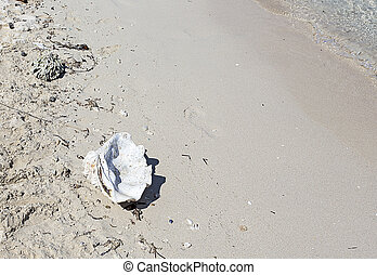 clam shell on white tropical sand