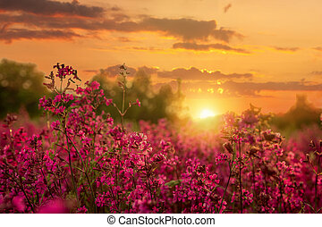 Clammy campion (Lychnis viscaria) flowers in the summer evening during warm colored sunset