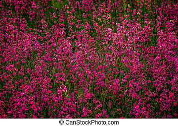 Clammy campion (Lychnis viscaria) flowers in the summer evening