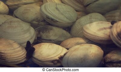 Clams in restaurant aquarium tank for sale to diners stock...