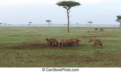 clan of hyenas eating carrion in savanna at africa - animal,...