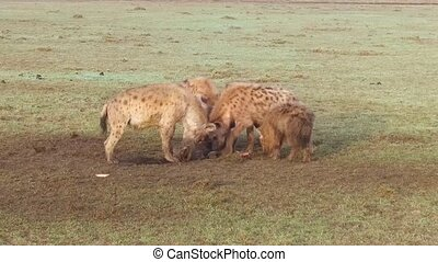 clan of hyenas eating carrion in savanna at africa - animal,...