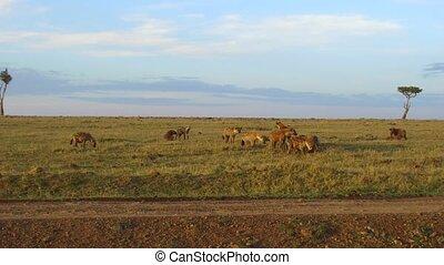 clan of hyenas eating in savanna at africa - animal, nature...