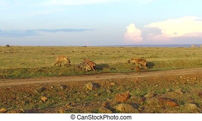clan of hyenas in savanna at africa - animal, nature and...