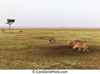 clan of hyenas in savannah at africa