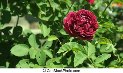 Claret red rose flowering in rosary close up. Deep red rose...
