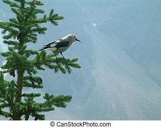 clark's nutcracker - Bird that is often seen in the Canadian...