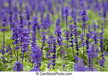 Clary Sage (Salvia sclarea) for background use