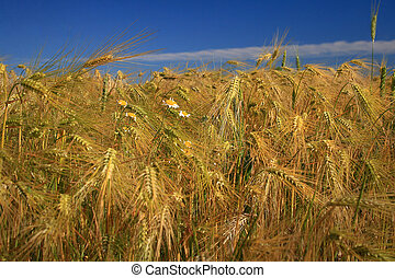 classes of wheat field