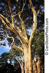 Classic Autralian pale Gum tree in Melbourne