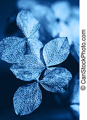 Classic Blue background. Color of the year 2020. Dry textured hydrangea petals