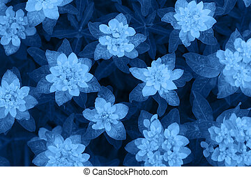 Classic Blue background. Color of the year 2020. Euphorbia epithymoides