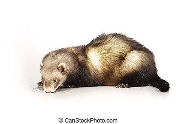 Classic ferret on reflective white background