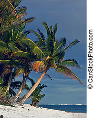 Classic Palm - Cook Islands Palm