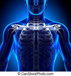 Clavicle - Anatomy Bones