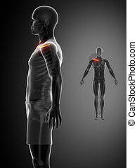 CLAVICLE black x--ray bone scan