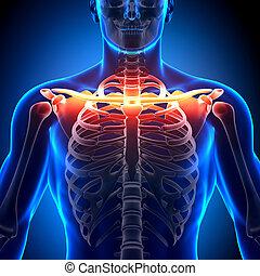 Clavicle Bone Anatomy - Anatomy Bon