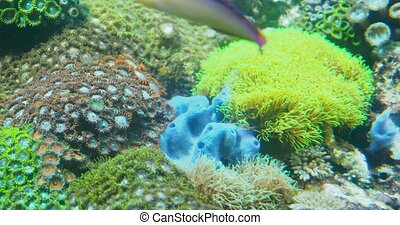 Clavularia or star polyps, glove polyps and other colorful...