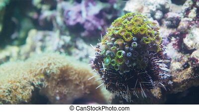 Clavularia or star polyps, glove polyps.