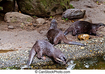 clawed otters. An Oriental Small Clawed Otter (Aonyx cinereus)