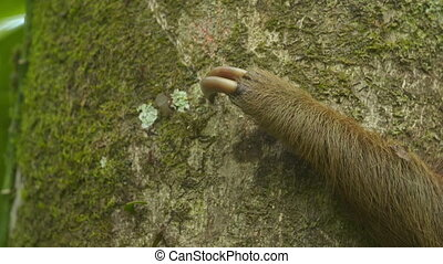 Claws Of A Two-Toed Sloth On A Trunk, Costa Rica - Extreme...