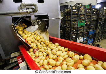 Cleaned potatoes on conveyor belt - Cleaned potatoes on a ...
