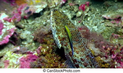 Cleaner fish close up underwater on seabed of nature Philippines.