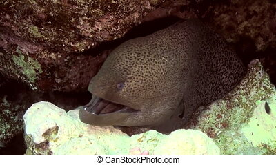 Giant Moray Eel and Cleaner wrasse fish cleaning moray eel at cleaning station on Coral Reef. Amazing, beautiful underwater marine sea world Red Sea and life of its inhabitants, creatures and diving.