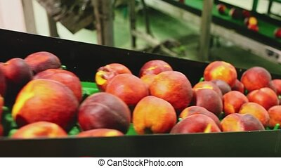Harvest of ripe peaches on sorting line at plantation warehouse