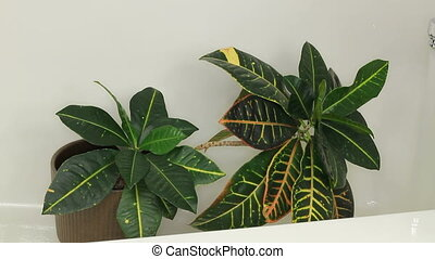 Cleaning Houseplant with a Shower - Tropical croton house...