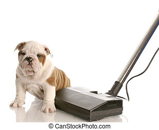 cleaning up after puppy - english bulldog puppy sitting...