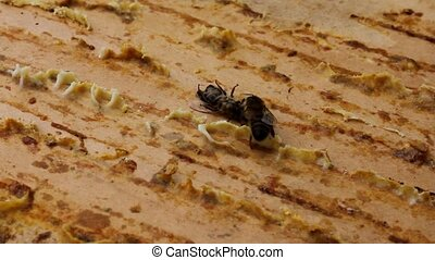 Cleanliness in the hive - Bees maintain cleanliness in the...