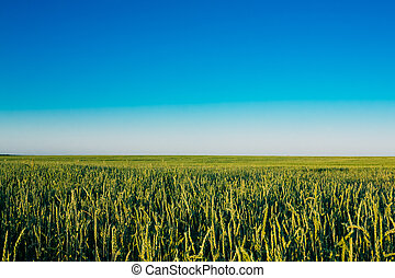 Clear Blue Sky Over Rural Countryside Field With Green Wheat. La
