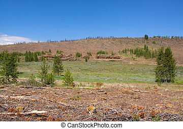 Clearcut Due to Pine Beetles - a clearcut forest due to...