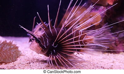clearfin, lionfish