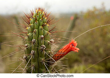 (cleistocactus, cacto, sepium)