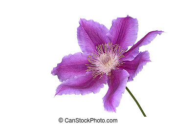 Macro shot of a Clematis (Dr Ruppel) flower, isolated on white.