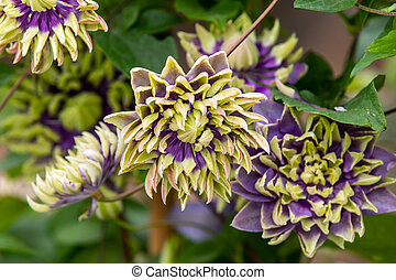 Clematis florida taiga in full flower close_up
