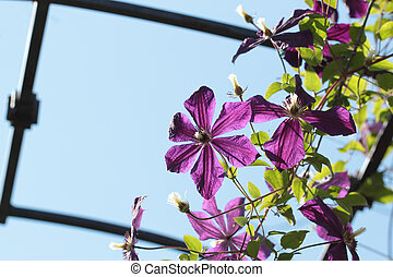 Clematis flower over the blue sky