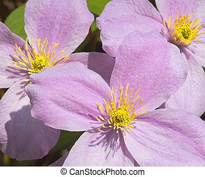 clematis flowers - a group of brightly colored clematis...