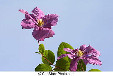 Clematis on the sky  background