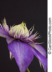 clematis, pennell, vyvyan